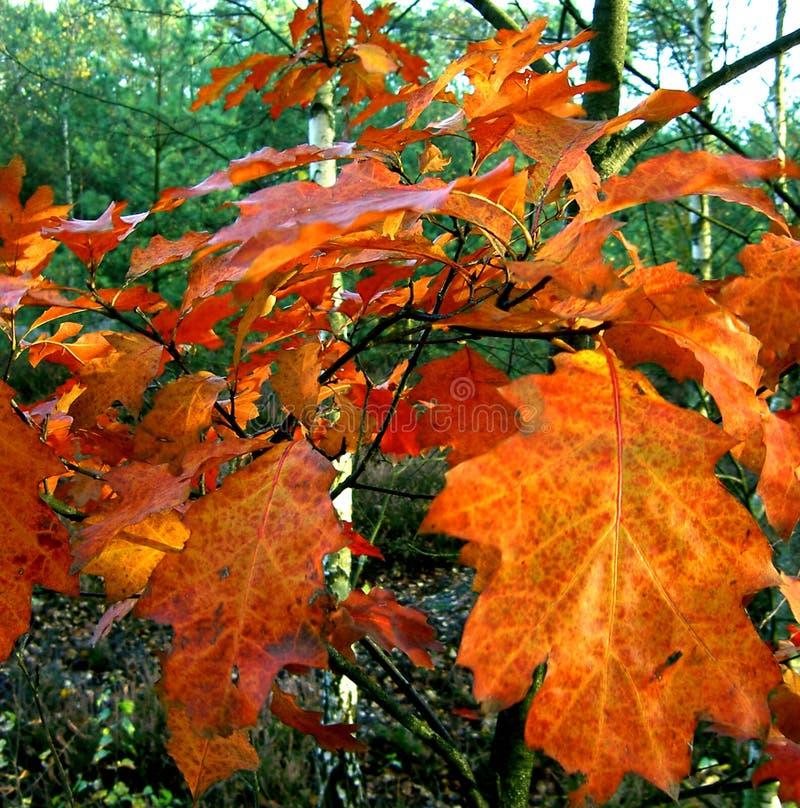Revestimento do outono de um ramo do carvalho foto de stock royalty free