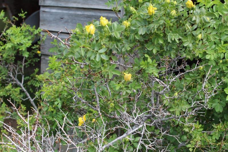 Revestimento protetor do celeiro de Rosa arbusto amarela fotos de stock