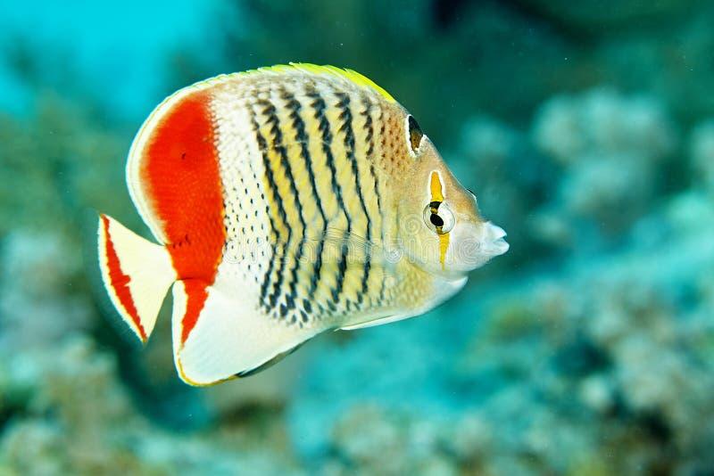 Revfisk under vatten royaltyfri fotografi