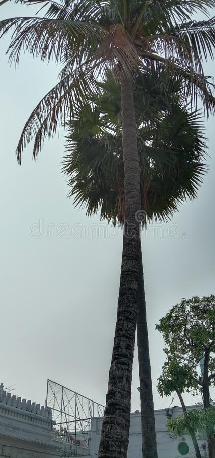 Review of two coconut trees standing together II in between saraswathi auditorium Park in Howrah India stock photo
