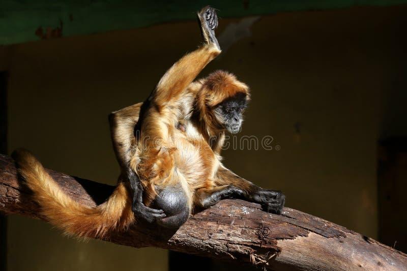 Revisión médica para un mono imagen de archivo libre de regalías