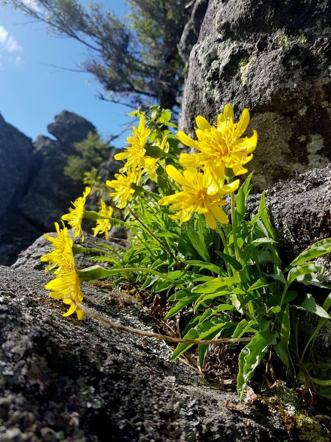 revival O crescimento de flores selvagens amarelo em uma rocha racha-se fotos de stock
