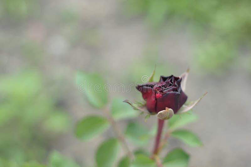 Rewolucjonistka blaknący różany dorośnięcie w ziemi na domowym flowerbed obraz stock