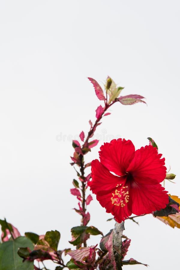 Rewolucjonistka buta kwiatu bielu tło obraz royalty free