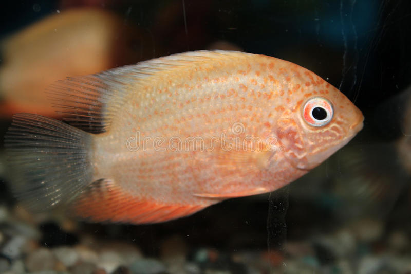Rewolucjonistka Dostrzegająca Severum akwarium ryba (Cichlasoma severum) obrazy stock
