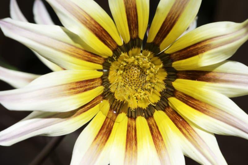 Rewolucjonistka i żółci kwiatów stamens zdjęcia royalty free