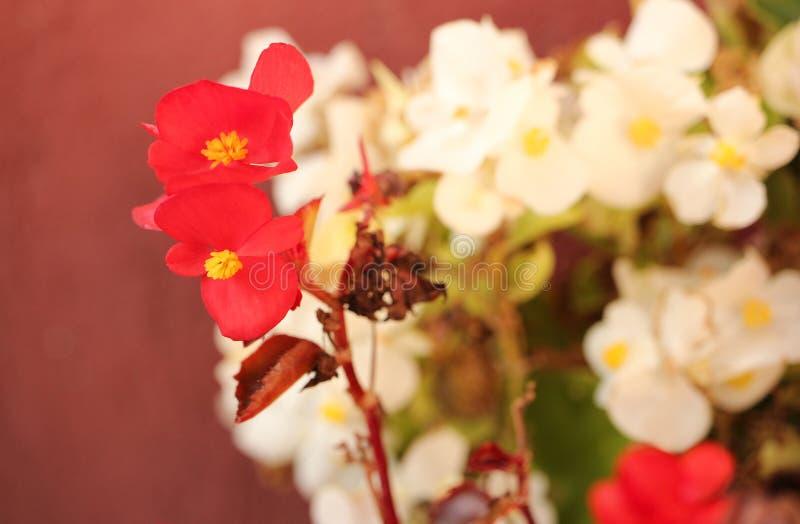 Rewolucjonistka kwitnie w ogródzie, begoni semperflorens fotografia stock