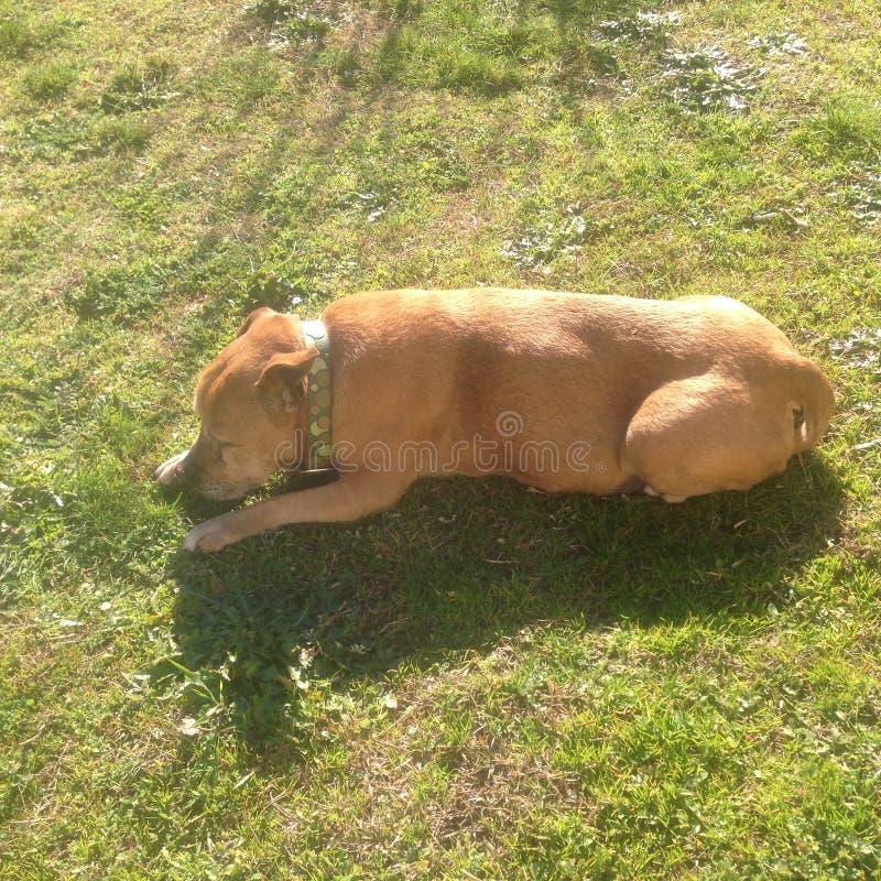 Rewolucjonistka pies zdjęcie stock