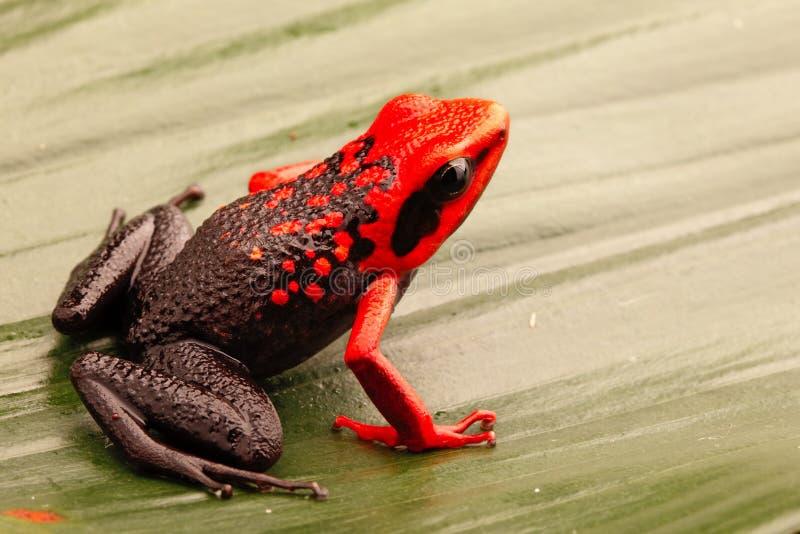 Rewolucjonistka przewodził jad strzałki żaby, Ameerega silverstonei obraz stock