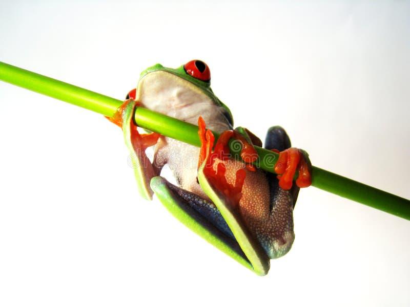 Rewolucjonistka przyglądał się drzewnej żaby agalychnis callidryas (78) fotografia stock
