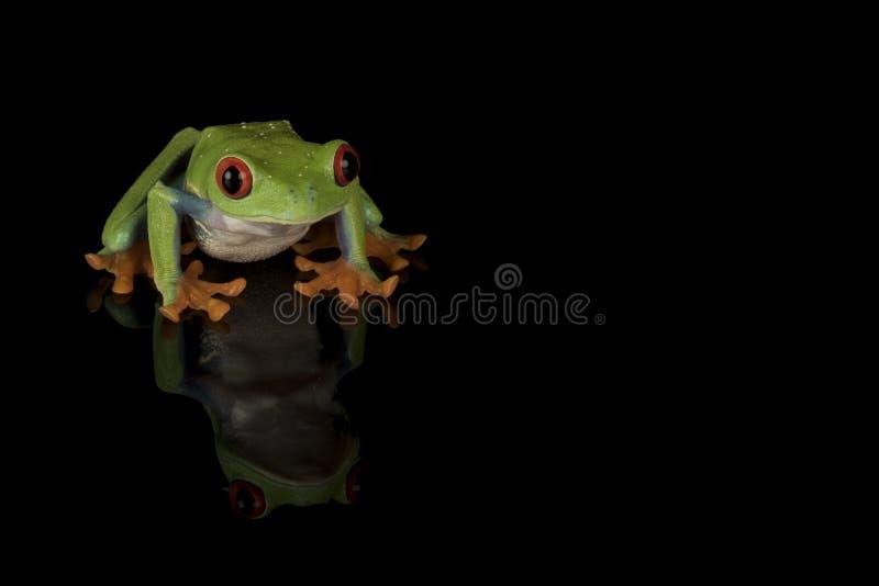 Rewolucjonistka przyglądał się drzewnej żaby - odizolowywającej na czerni obrazy royalty free