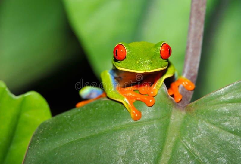 Rewolucjonistka przyglądał się liść zielonej drzewnej żaby, costa rica obrazy royalty free