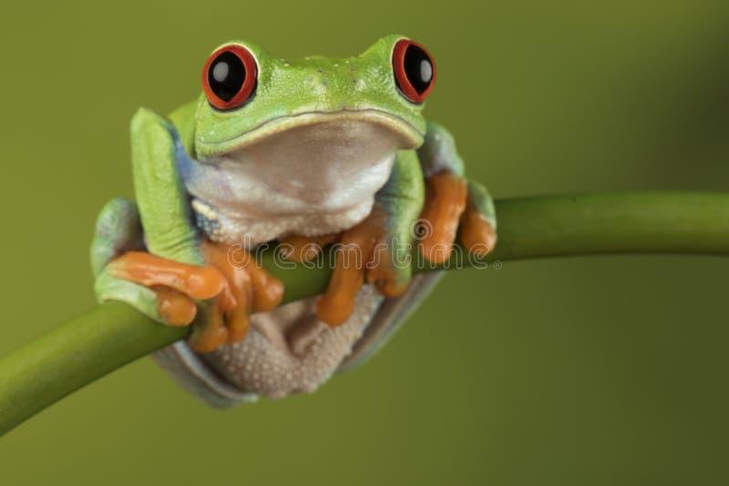 Rewolucjonistka Przyglądająca się Drzewna żaba na bambusie zdjęcia royalty free