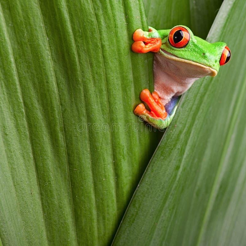 Rewolucjonistka przyglądający się drzewnej żaby ciekawy zwierzęcia zieleni tło zdjęcie stock
