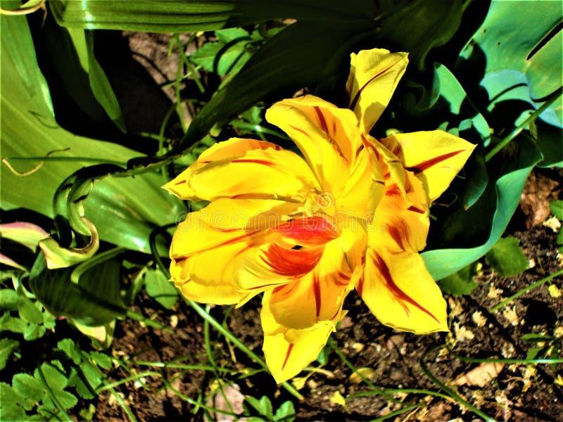 Rewolucjonistka tulipan z zielonymi liśćmi Odg?rny widok zdjęcie stock
