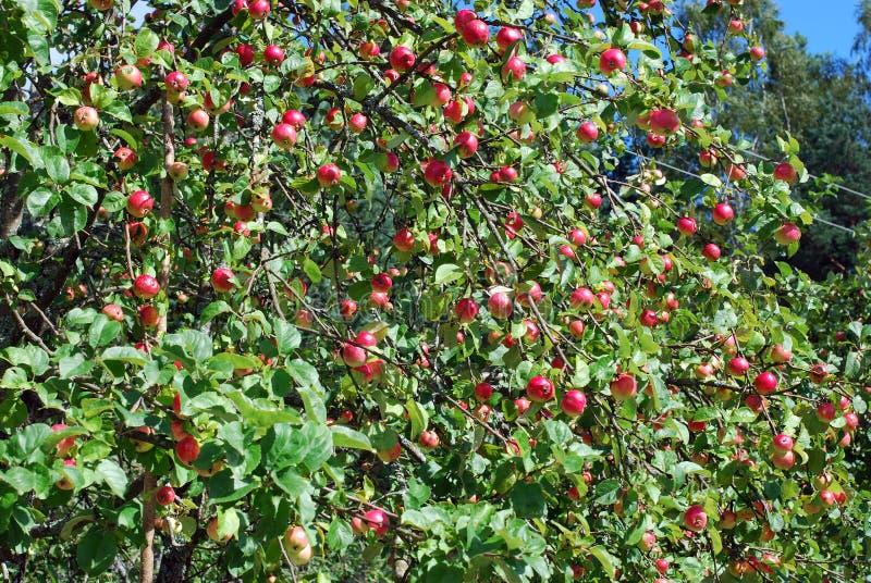 Rewolucjonistka - wyśmienicie jabłka r na drzewie w ogródzie zdjęcie royalty free