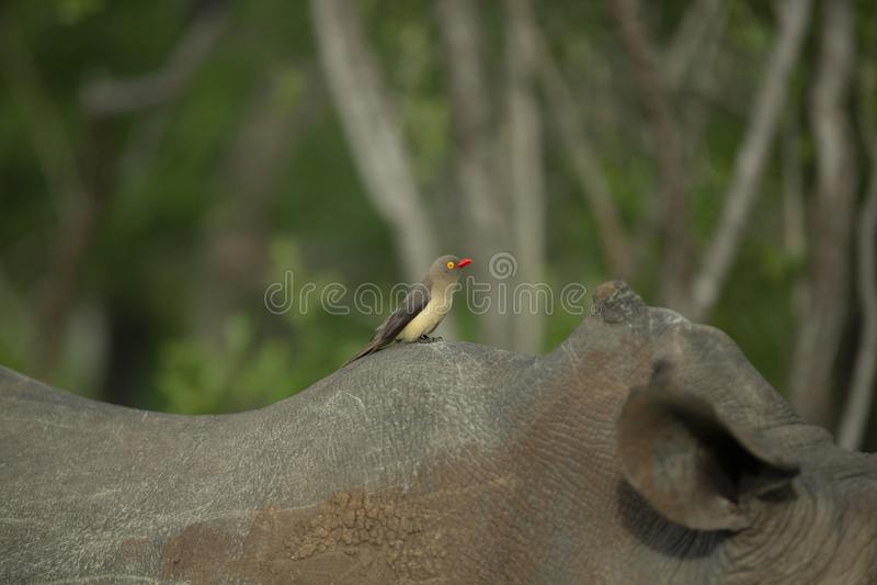 Rewolucjonistka Wystawiający rachunek Oxpecker na nosorożec obraz stock