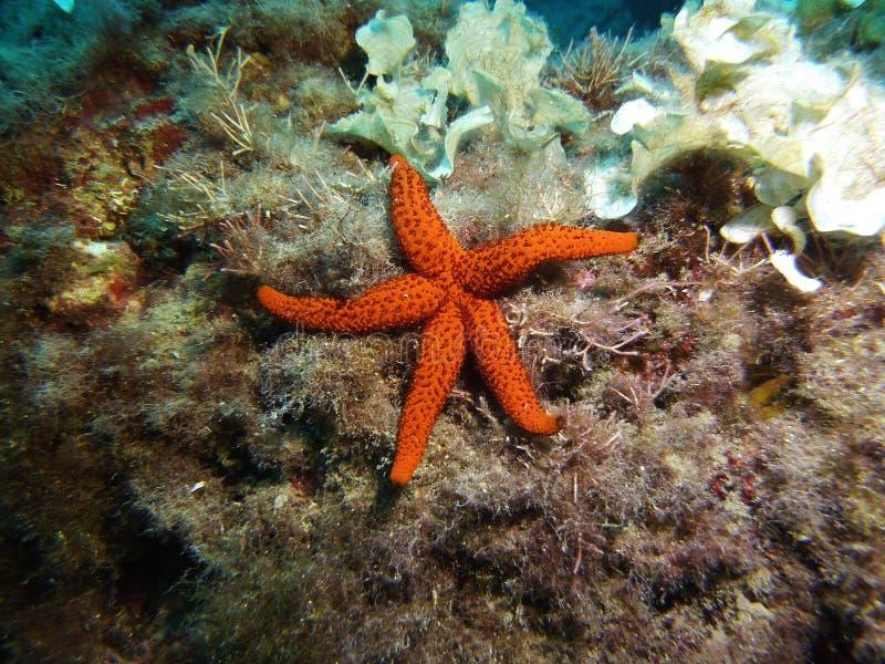 Rewolucjonistki gwiazdy ryba między niektóre pawia ogonu algami zdjęcia stock