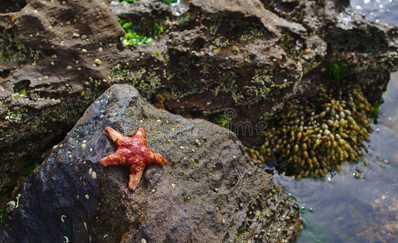 Rewolucjonistki gwiazdy ryba na popielatej kamiennej pobliskiej wodzie fotografia royalty free