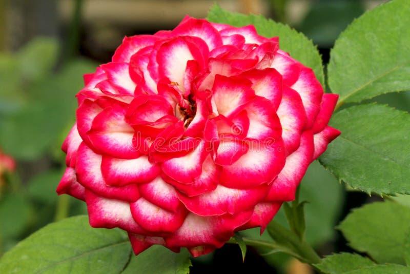 Rewolucjonistki i bielu róża obrazy stock