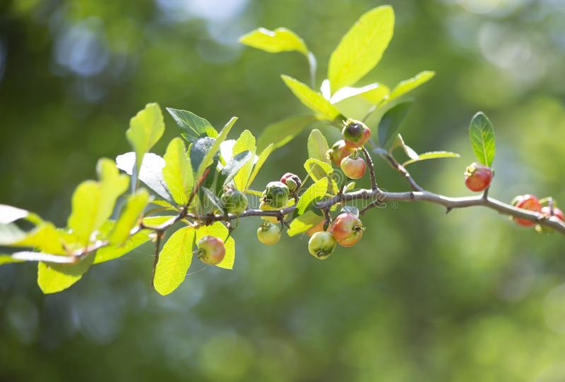 Rewolucjonistki i zieleni jagody obraz royalty free