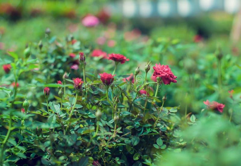 Rewolucjonistki kaskady miniatury róża hodował czerwone mini róże zdjęcie stock