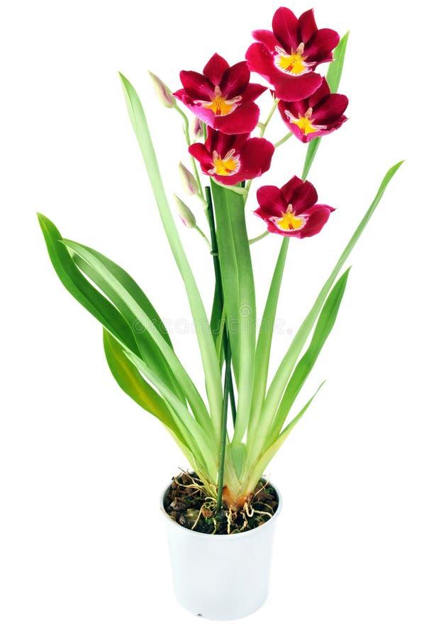 Rewolucjonistki miltoniopsis różowa żółta orchidea w flowerpot na odosobnionym whi obraz royalty free