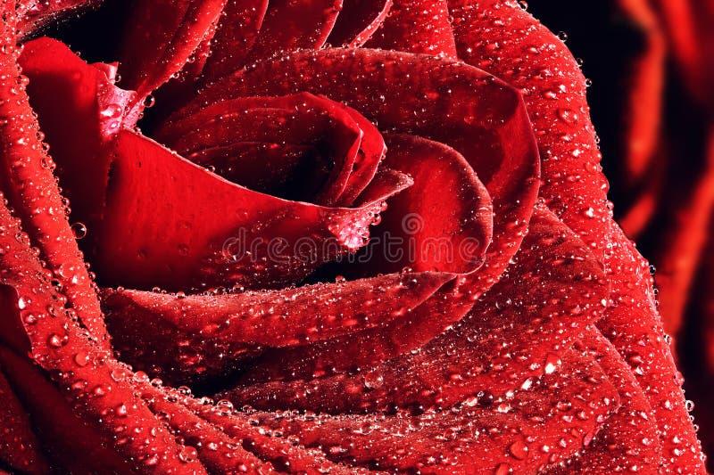 Rewolucjonistki mokry różany zakończenie Walentynka dzień, ślubny tło zdjęcie royalty free