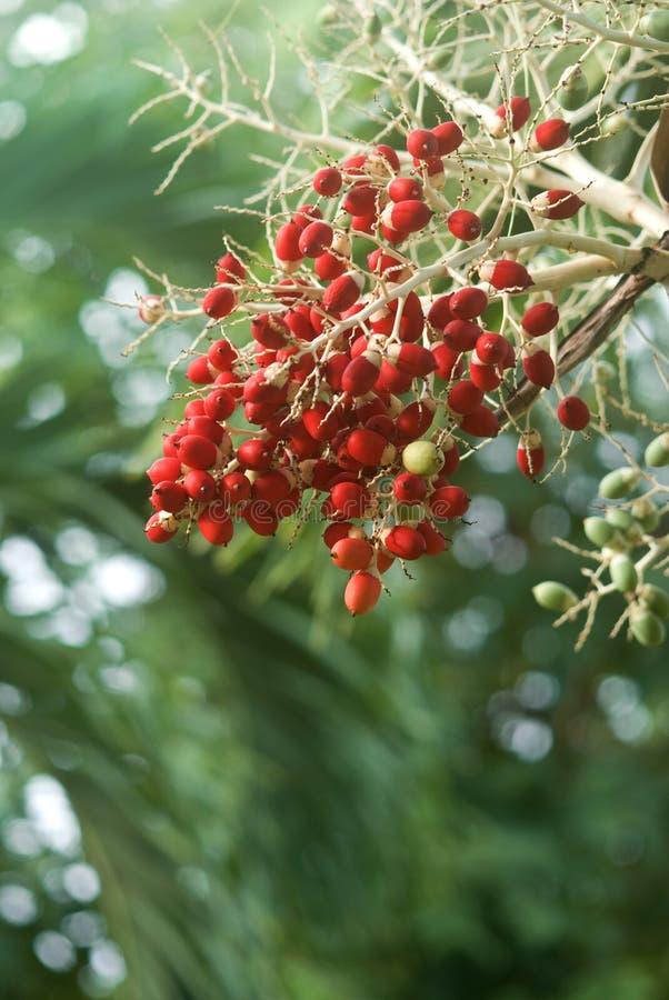Rewolucjonistki owoc daktylowa drzewna