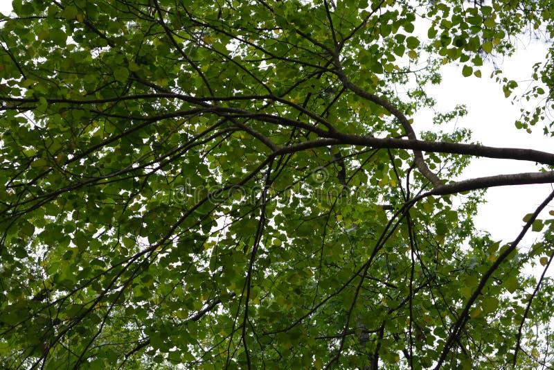 Rewolucjonistki pączkowy drzewo fotografia royalty free