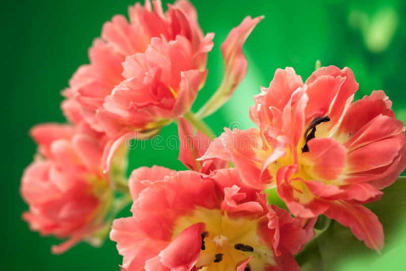 Rewolucjonistki peoni dwoisty tulipan zdjęcia stock
