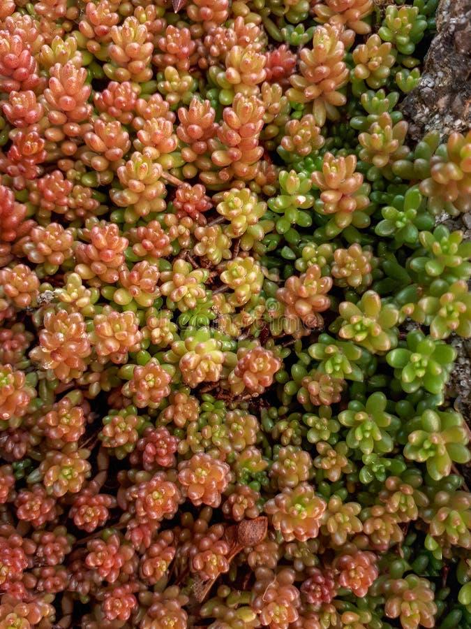 Rewolucjonistki, pomarańcze i zieleni Sedum Rockowa roślina, zdjęcia royalty free