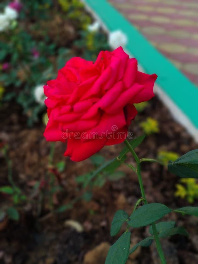 Rewolucjonistki róża, kocham czerwieni róży, ja proponuję mój girlfriend& x27; s na to wzrastał fotografia royalty free