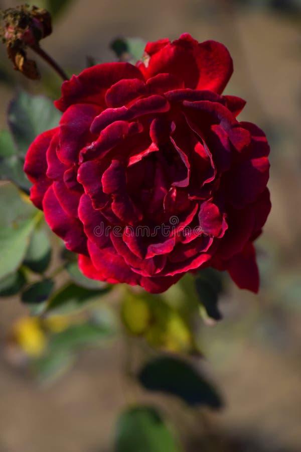 Rewolucjonistki róża kwitnie z tło plamą obrazy royalty free