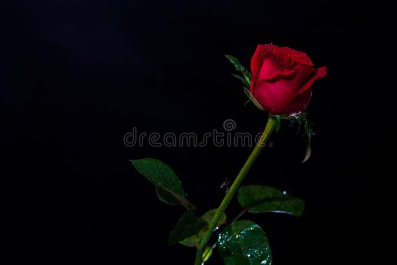 Rewolucjonistki róża odizolowywająca na czarnym ackground, miłość zmrok fotografia royalty free