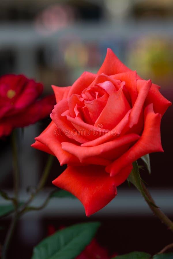 Rewolucjonistki róża stoi out w ten ciemnym tle zdjęcia royalty free