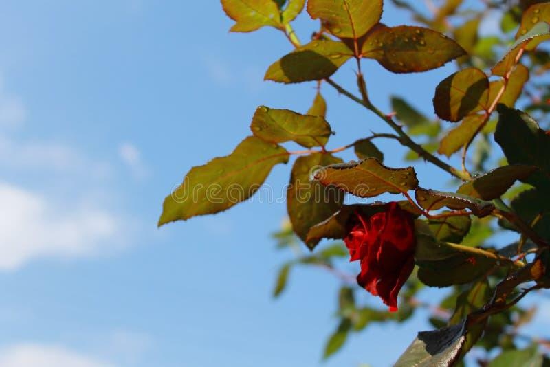 Rewolucjonistki róża w słońcu po deszczu zdjęcia stock