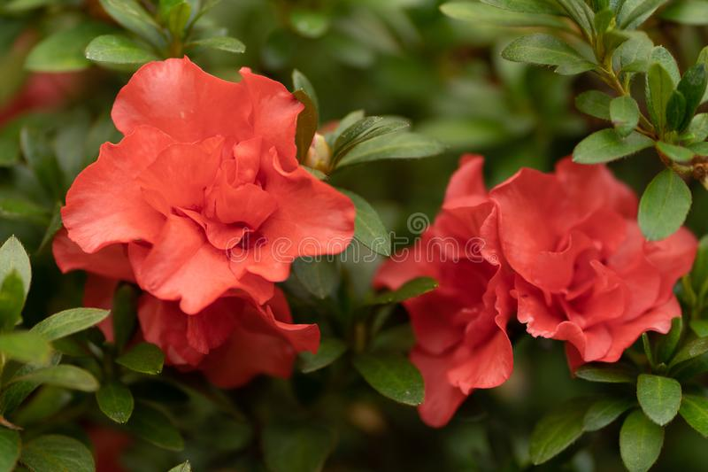 Rewolucjonistki róża w zakończeniu w górę, natury tło obrazy royalty free
