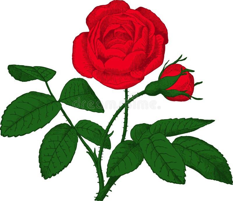 Rewolucjonistki róża. Wektor royalty ilustracja
