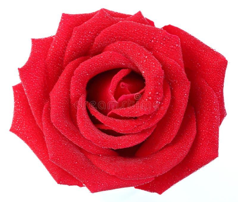 Rewolucjonistki róża z wodną kropelką obrazy royalty free