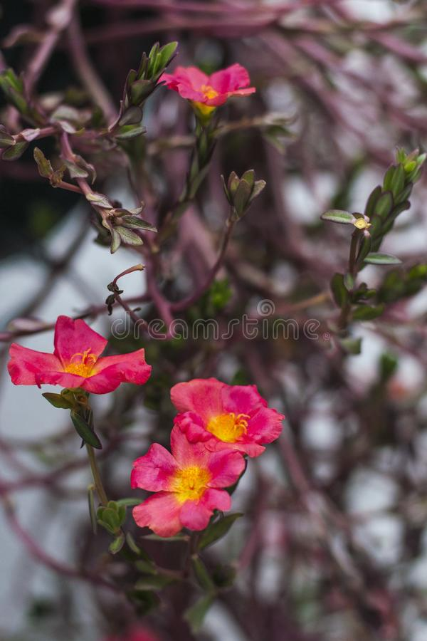 Rewolucjonistki różowa purpura kwitnie z wysuszonymi liśćmi zdjęcia stock