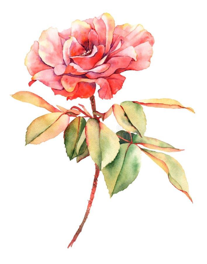 Rewolucjonistki róży akwarela ilustracji