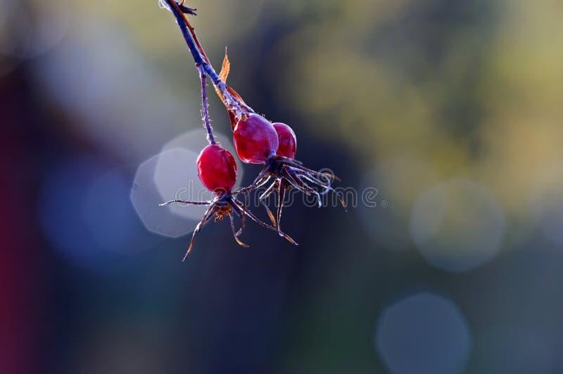 Rewolucjonistki róży biodra po jesień deszczu zdjęcie royalty free