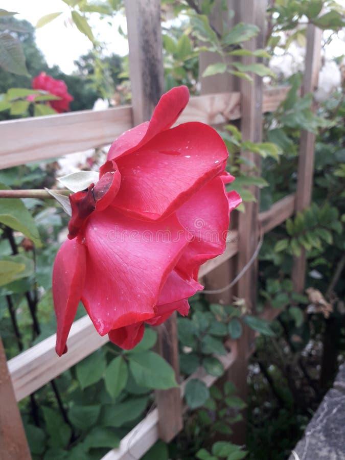 Rewolucjonistki róży dorośnięcie Chociaż Trellis fotografia royalty free