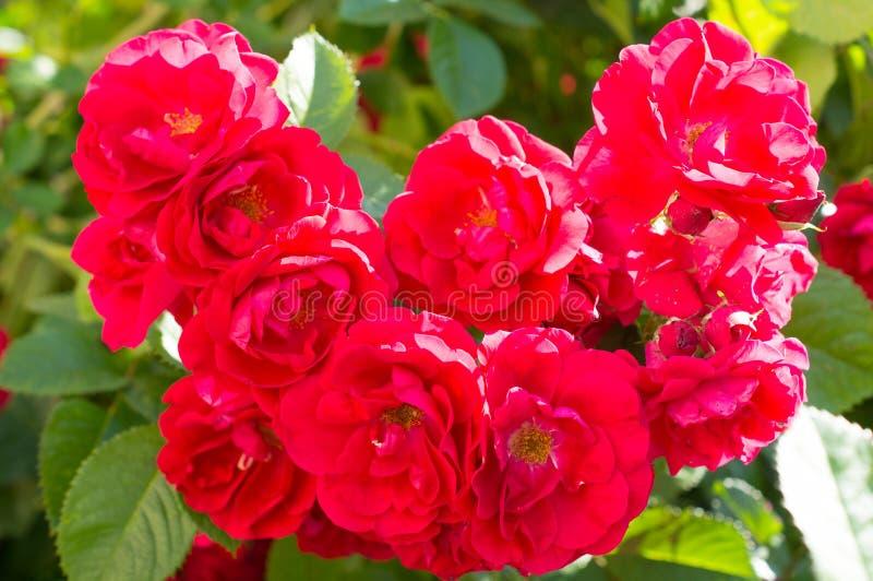 Rewolucjonistki róży krzaki z zielenią opuszczają, doskonalić prezent dla kobiety dla jakaś okazji Luksusowy widok na letnim dniu obrazy stock