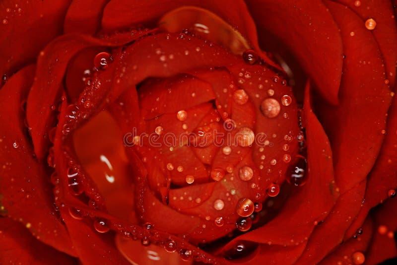 Rewolucjonistki róży kwiat makro- fotografia royalty free