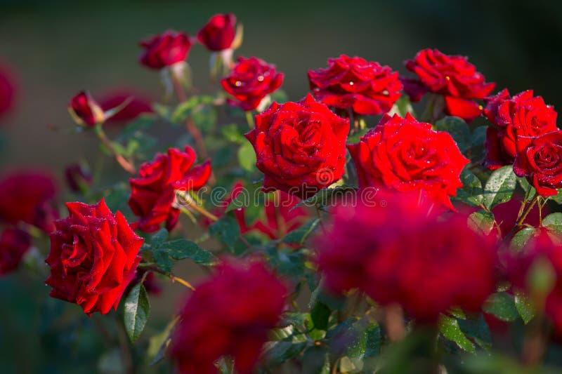 Rewolucjonistki róży kwiat w pełnym kwiacie w ogródzie lub parku zakrywających wodą fotografia stock