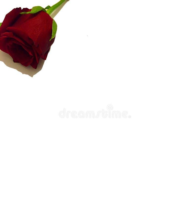 Rewolucjonistki róży kwiat z białym tłem fotografia stock