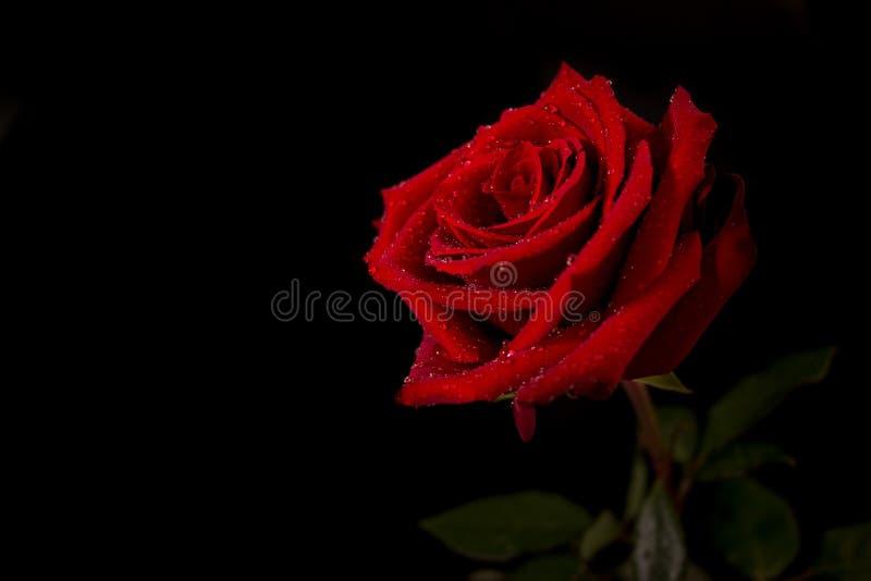 Rewolucjonistki róży kwiat z wodnymi kropelkami na płatkach przeciw czarnemu tłu fotografia royalty free