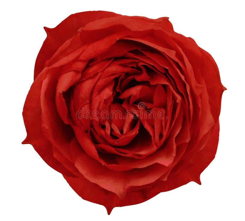 Rewolucjonistki róży kwiatu biały odosobniony tło z ścinek ścieżką Zbliżenie żadny cienie fotografia royalty free